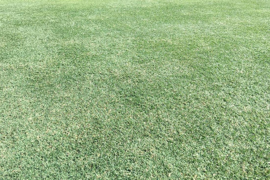 Celebration® Bermudagrass