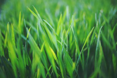 Is Centipede Grass the Best Choice for Your Lawn Needs?
