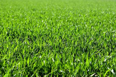 A Short Guide to The Proper Care of Zeon And Emerald Zoysia